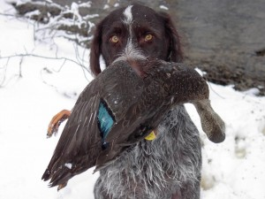 Wirehaired Pointer holding Mallard Hen