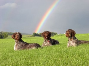 three wirehairs under the rainbow