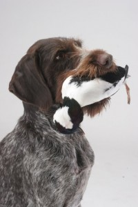 wirehaired pointer with bufflehead