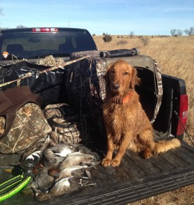 Cody- Wyoming.  Golden Retriever
